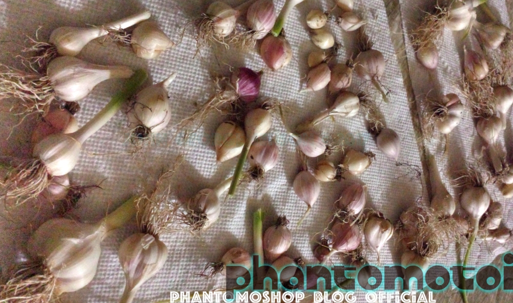 Phantomoshop_Blog_Garden_Garlic_700w