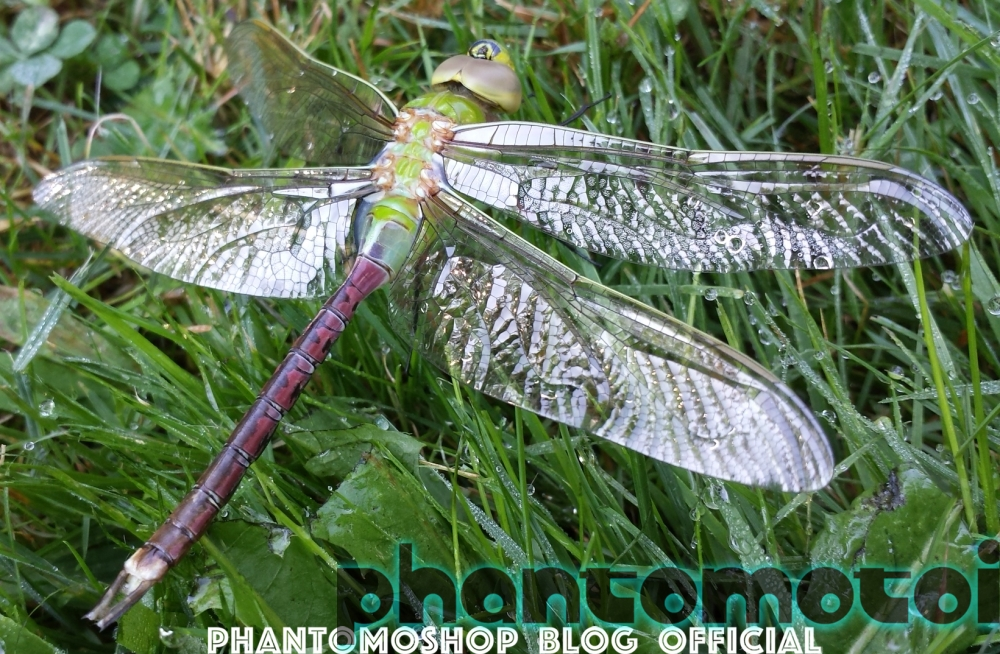 Phantomotoi_Dragonfly_600w